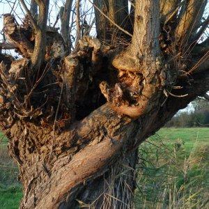 Weide in der Marsch in Schleswig Holstein der sprechende Baum Schreibgruppe Federreiter